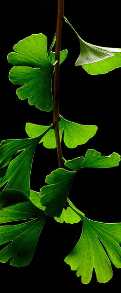 400px-Ginkgo_Biloba_Leaves_-_Black_Background
