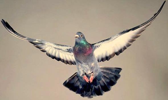 alg-pigeon-jpg