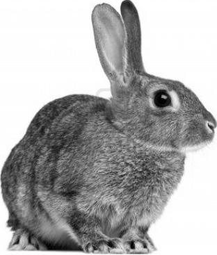 brown-and-white-rabbit-20150420231312-55358808e9025